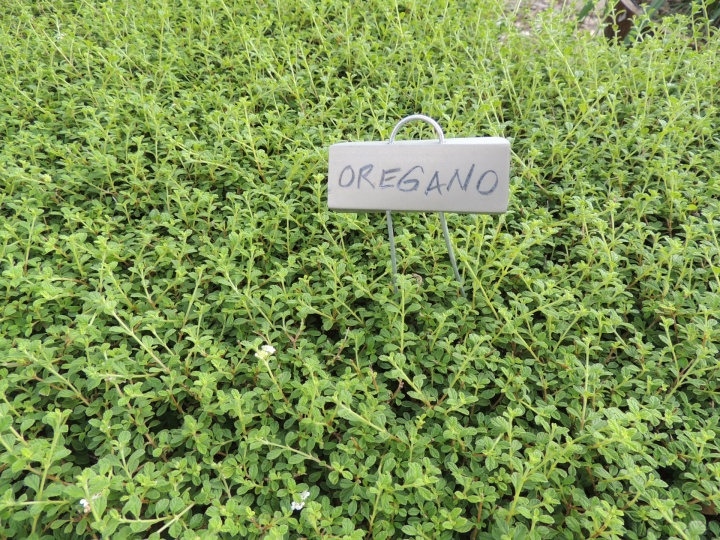 Oregano Essential Oil, as Necessary as your Little Black Dress