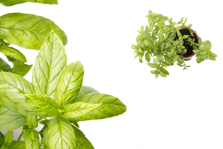 Who What When Where & Why to use Peppermint Essential Oil
