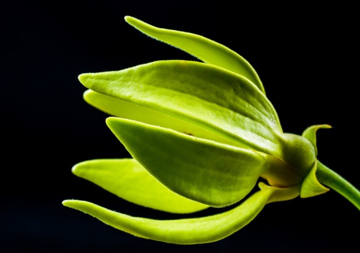 Ylang Ylang in Haiku