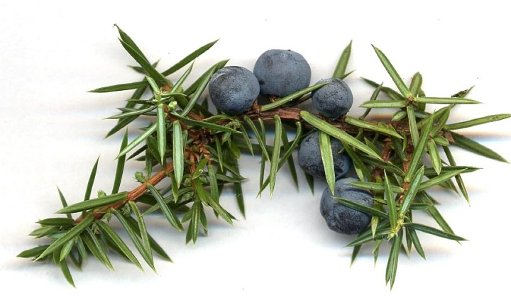 Juniper Berry Essential Oil; The Uses and Benefits of this little gem.